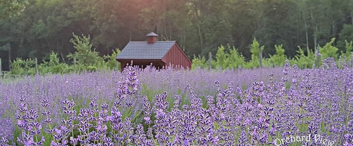 Orchard View Lavender Farm Main Image